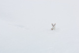 A Long Tailed Weasel  Hunting in Deep Snow