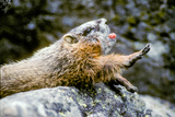 A Yawning Yellow Bellied Marmot Rests on a Rock and Stretches