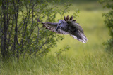 A Great Gray Owl  Strix Nebulosa  Flying with a Rodent in its Beak