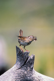 A Lincoln's Sparrow with a Mayfly in its Beak