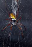 An Orbweaver Spider Crawls on its Web