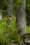 Ferns and Wildflowers Growing Among Dead and Broken Spruce Trees and Stumps