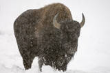 Portrait of an American Bison  Bison Bison  During a Snowstorm