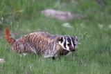 Portrait of an American Badger  Taxidea Taxus  Walking Through the Grass