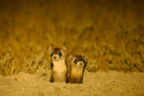 Two Black-Footed Ferrets  Mustela Nigripes  at their Burrow at Night  Displaying Eyeshine