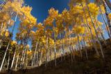 Aspen Trees in Grand Teton National Park in the Fall