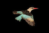 A Brown Hooded Kingfisher Collected from Chitengo Camp in Gorongosa National Park