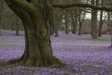 Wild Crocuses in Bloom under Old Trees in Schlosspark Von Schleswig  the Gardens of Gottorf Castle