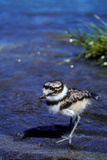 A Killdeer Chick  Less Than a Week Old