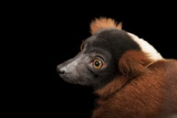 An Endangered Red Ruffed Lemur  Varecia Rubra  at the Miller Park Zoo