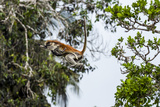 A Zanzibar Red Colobus Mother Leaps Between Canopy Trees with Her Baby in a Coral Rag Forest