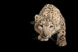 An Endangered Snow Leopard  Panthera Uncia at the Miller Park Zoo