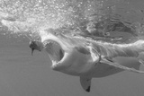 Portrait of a Great White Shark  Carcharodon Carcharias  Chasing a Bait with its Mouth Open