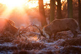Backlit View of Two Red Deer Stags Battling at Sunrise
