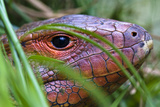 The Red Scaled Head of a Northern Caiman Lizard Hunting in Reeds Beside a River
