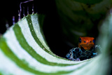 A New Color Morph of the Amazon Dart Frog Makes its Home in a Bromeliad Where it also Breeds