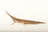 A Cattail Toothpick Grasshopper at Kissimmee Prairie Preserve State Park  Okeechobee  Florida