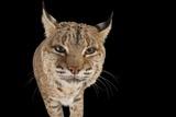 A Bobcat  Lynx Rufus  at the Miller Park Zoo
