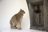 A Canada Lynx Captured by a Remote Camera at the Point Defiance Zoo and Aquarium