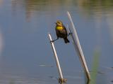 A Yellow Headed Blackbird  Xanthocephalus Xanthocephalus  Straddled Between Two Cattails