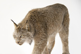 A Federally Threatened Canada Lynx  Lynx Canadensis  at the Point Defiance Zoo and Aquarium