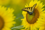 Portrait of an Eastern Tiger Swallowtail  Papilio Glaucus  on a Sunflower