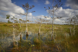 Cypress Trees in Everglades National Park Near Florida City