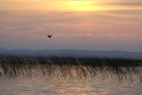 A Black Tern  Chlidonias Niger  Flying over the Reeds in a Lake at Sunrise