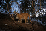 A Camera Trap Captures a Cougar in Wyoming's Gros Ventre Wilderness Area