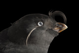 A Crested Auklet  Aethia Cristatella  at the Cincinnati Zoo