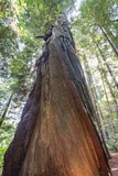 A Low-Angle View of a Giant Redwood Tree