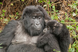 Portrait of a Female Mountain Gorilla and Her Baby  Gorilla Gorilla Beringei