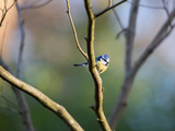 A Blue Tit Rests on a Branch in Richmond Park