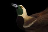 A Raggiana Bird-Of-Paradise  Paradisaea Raggiana  at the Cincinnati Zoo