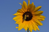 A Two-Striped Grasshopper on a Plains Sunflower