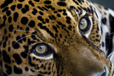 An Intense Stare from a Jaguar the Amazon Basin's Top Predator