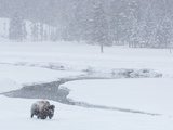 A Bison Forages Near a Stream During a Snow Storm