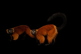 A Pair of Endangered Red Ruffed Lemurs  Varecia Rubra  at the Miller Park Zoo