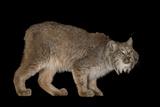 A Canada Lynx  Lynx Canadensis  at the Cincinnati Zoo