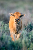 A Young Bison Calf Approaches