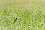 An Alert Black-Backed Jackal Pokes Up Above Seeding Grasses While Hunting on a Savannah Plain