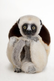 An Endangered Coquerel's Sifaka  Propithecus Coquereli  at the Houston Zoo