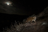 A Camera Trap Captures a Cougar under a Full Moon in Wyoming's Bridger Teton National Forest
