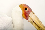 A Yellow-Billed Stork  Mycteria Ibis  at the Living Desert in Palm Desert  California
