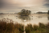 A Misty Autumn Pond Scene with Canada Geese and Mute Swans at Sunrise in Richmond Park