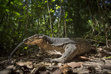 A Monitor Lizard  Varanus Palawanensis  Flicks its Forked Tongue