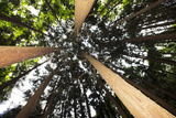 Cryptomeria Trees Imported to the Azores for their Ability to Grow Quickly and Withstand High Winds