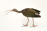 A White-Faced Ibis  Plegadis Chihi  at the Living Desert in Palm Desert  California