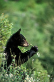 The American Black Bear Cub  Ursus Americanus  Sniffing Wildflowers