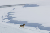 A Coyote  Canis Latrans  Walking on the Ice of the Yellowstone River